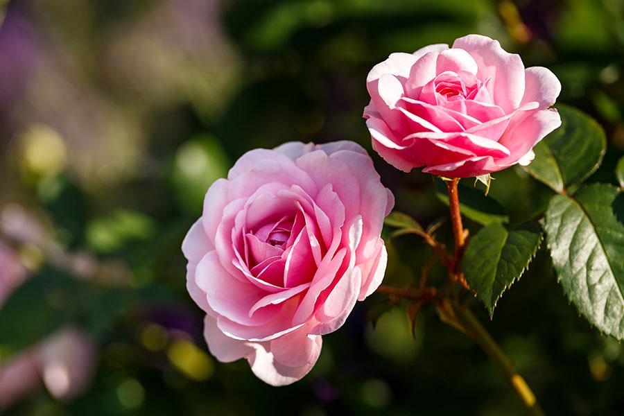 Die Welt der Rosen