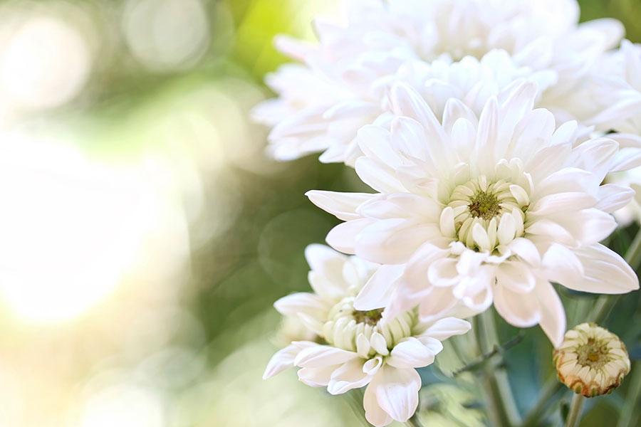 Jetzt Chrysanthemen!